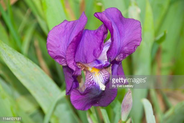 purple bearded iris flower - bearded iris stock pictures, royalty-free photos & images