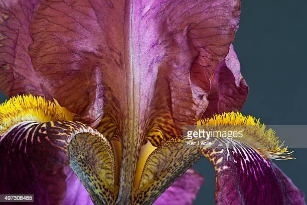 purple bearded iris - bearded iris stock pictures, royalty-free photos & images