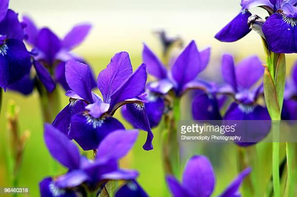 Purple bearded irises in field