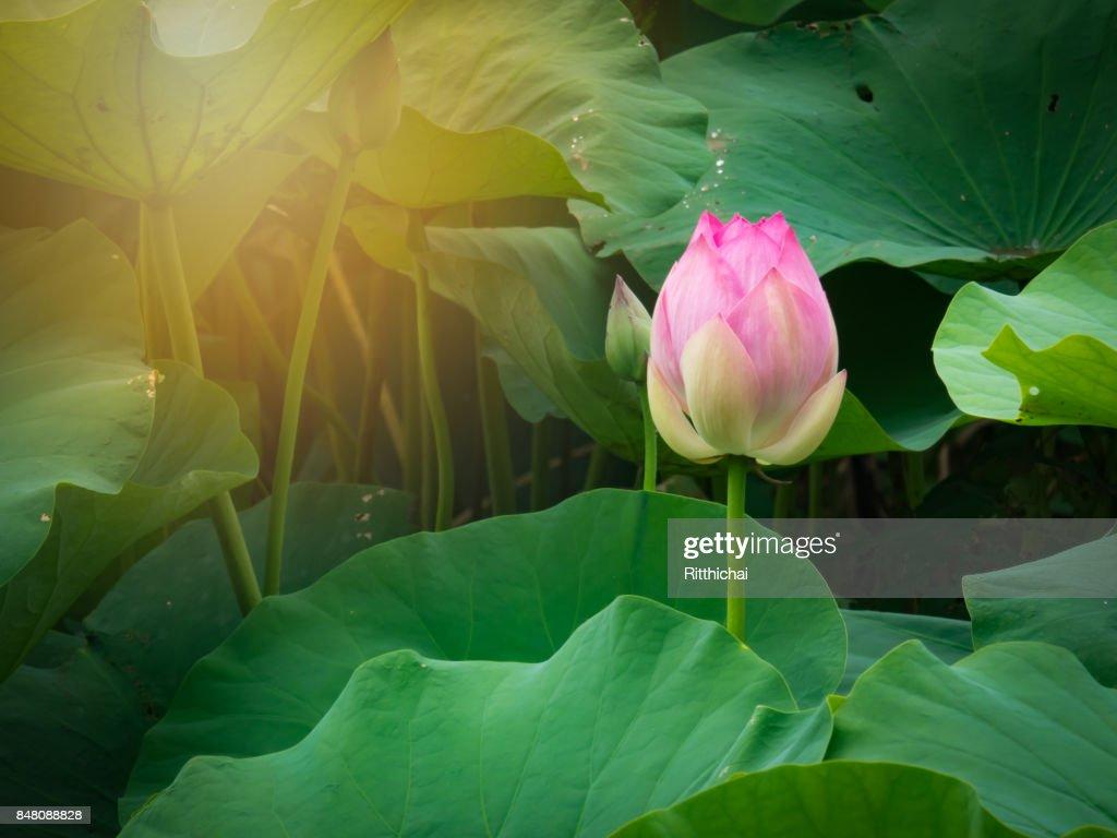 Purple beautiful lotus flower or water lily and leaf in water pond purple beautiful lotus flower or water lily and leaf in water pond on morning stock izmirmasajfo Images