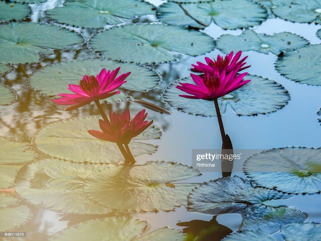 Purple beautiful lotus flower or water lily and leaf in water pond purple beautiful lotus flower or water lily and leaf in water pond on morning stock izmirmasajfo Gallery