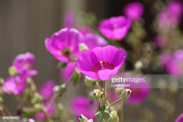 purple blooming flowers with long stems from succulents - long stem flowers stock pictures, royalty-free photos & images