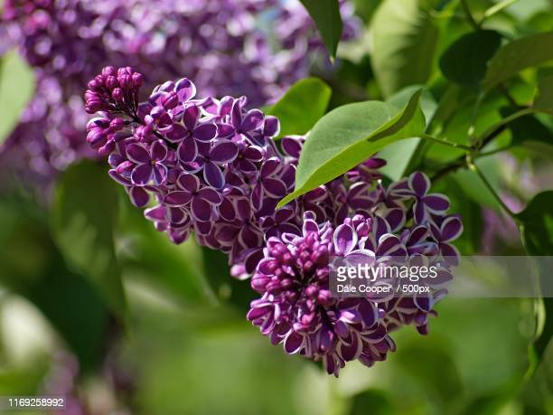purple blooming lilac flowers - purple lilac stock pictures, royalty-free photos & images