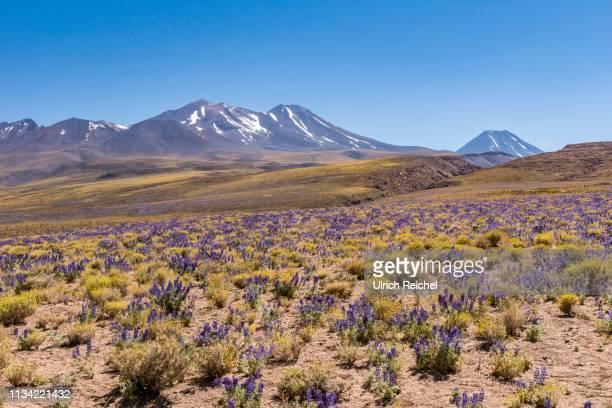 purple blooming plateau, altiplano with the cerro lena and volcano chiliques, ruta 23 near socaire, region de antofagasta, chile - antofagasta region stock photos and pictures