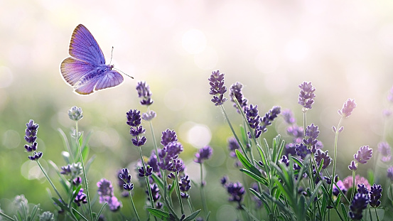 Purple blossoming Lavender and flying butterfly in nature. 1158872210