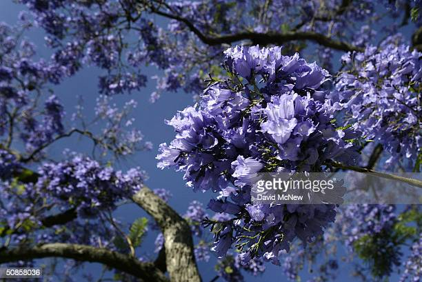 Purple blossoms appear as southern California's Jacaranda trees go into full bloom on May 19 2004 in South Pasadena California The subtropical...