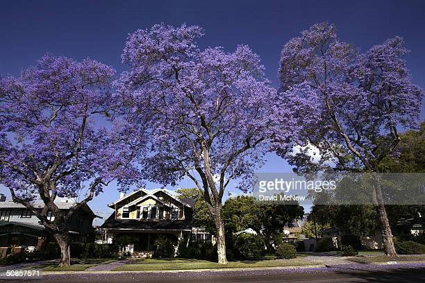 Purple blossoms tower over homes as southern California's Jacaranda trees go into full bloom on May 19 2004 in South Pasadena California The...
