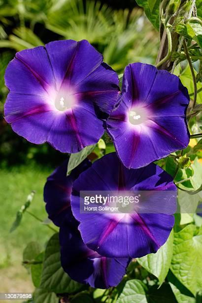 Purple blue flowers of Ipomeae violacea, Convolvulariaceae in bright sunshine