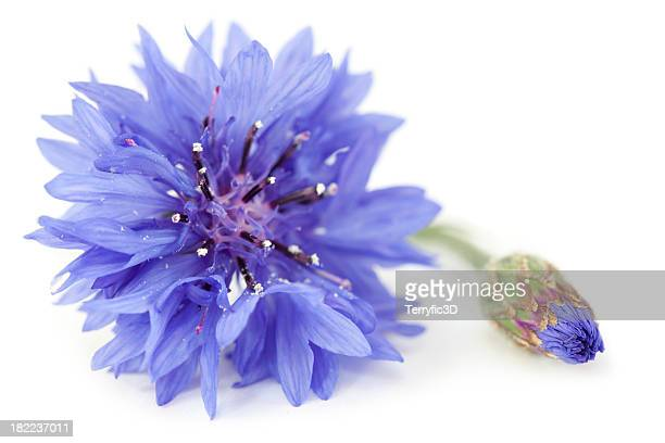 Purple Blue Wild Cornflower and Bud Close Up