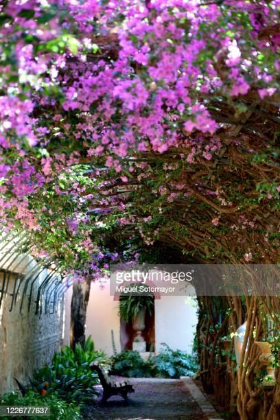 purple bougainvillea flowers - ロマン主義 ストックフォトと画像