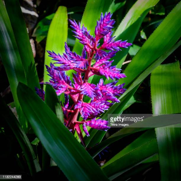 purple bromeliad - bromeliad ストックフォトと画像
