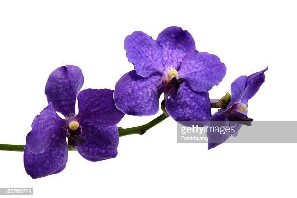 Borboleta roxa Orquídea