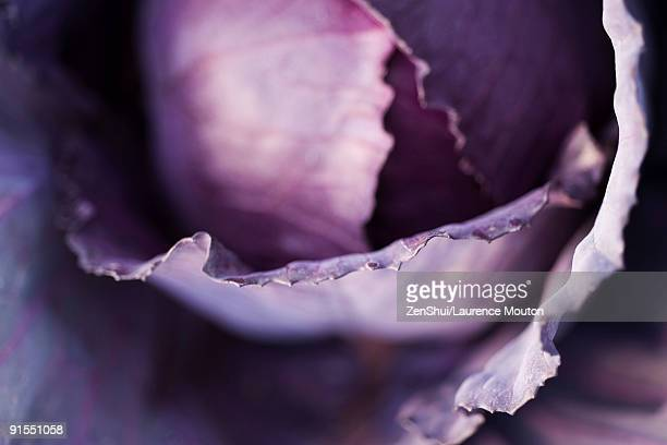 Purple cabbage, extreme close-up
