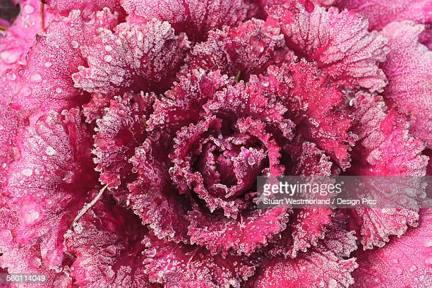 Purple cabbage on a frosty morning
