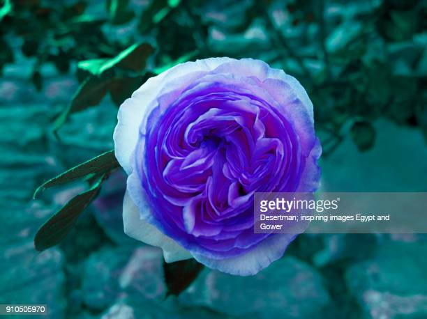 Purple Camon frilly rose