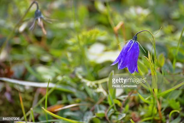 Purple campanula in bloom