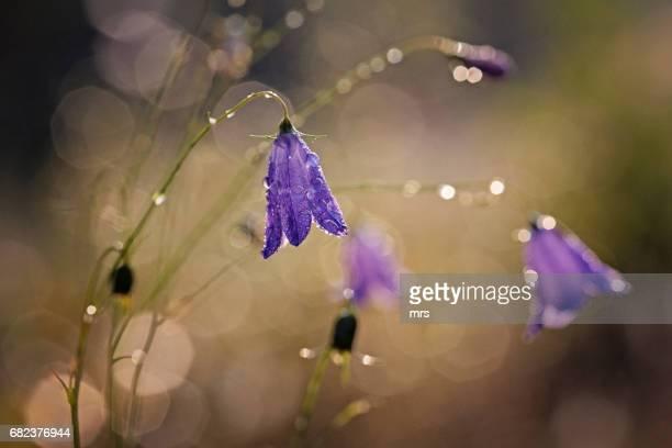 Purple campanulas outdoors