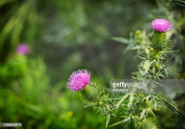 Purple Carduus Acanthoide flower. Plumeless thistles in bloom. Summer nature background with blossom flowers, copy space. Summertime background.