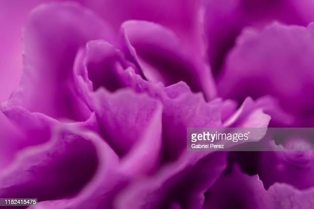 a purple carnation flower - cravo cravo da china imagens e fotografias de stock