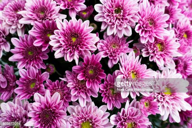 purple chrysanthemum flower - chrysanthemum imagens e fotografias de stock