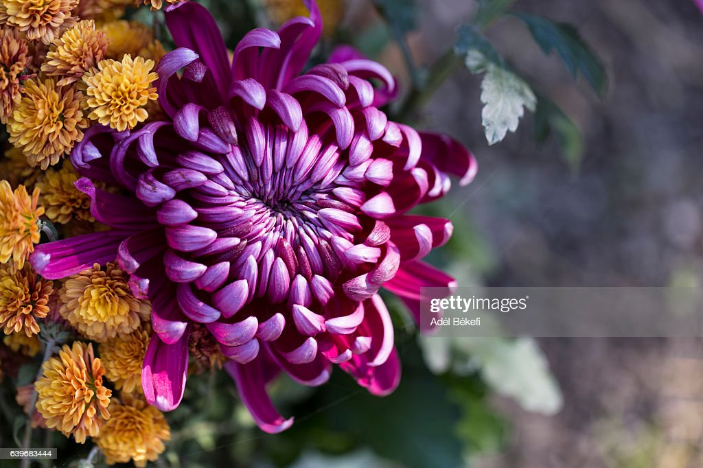 purple chrysanthemum : Stock-Foto