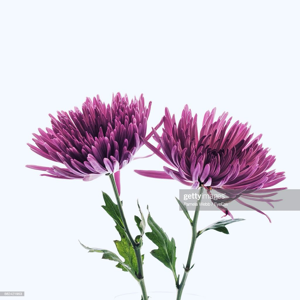 Purple Chrysanthemums On White Background : Stock-Foto