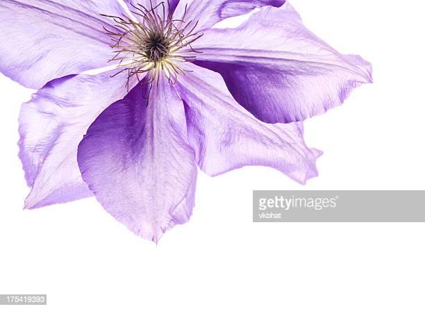 Waldrebe Blume