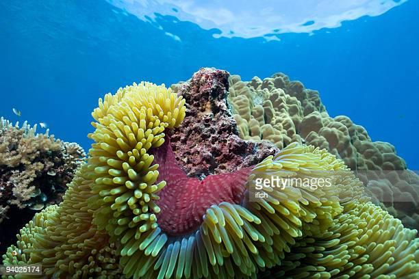 Purple Coat of Magnificent Sea Anemone Heteractis magnifica, Sulawesi, Indonesia
