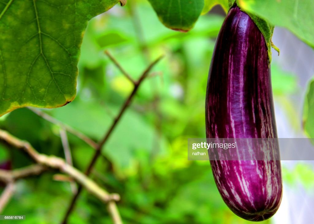 purple color eggplant brinjal fruit stock photo getty images