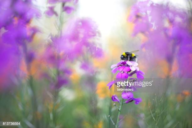 purple colours summer flowers and honey bee. - honey bee stock pictures, royalty-free photos & images