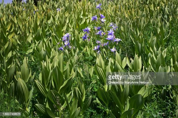 purple columbines blooming in corn lilies - カリフォルニアバイケイソウ ストックフォトと画像