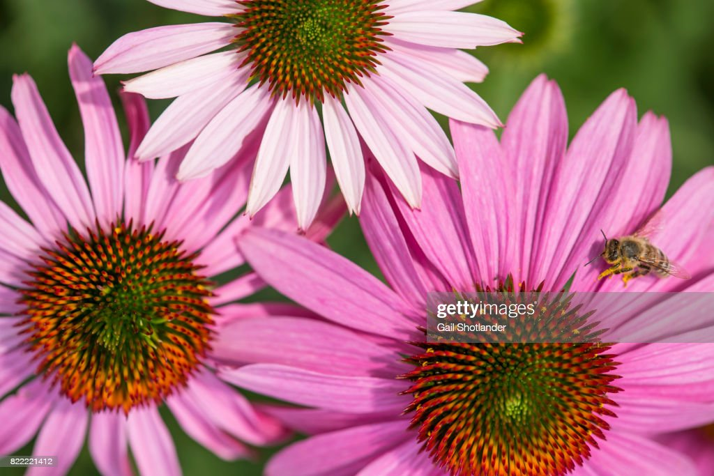Purple Coneflower and the Bee : Stock Photo