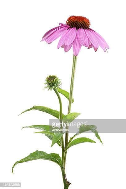 purple Sonnenhut-Pflanze (Sonnenhut-Pflanzengattung purpurea), isoliert auf weiss