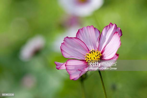 Purple cosmos flower, close-up