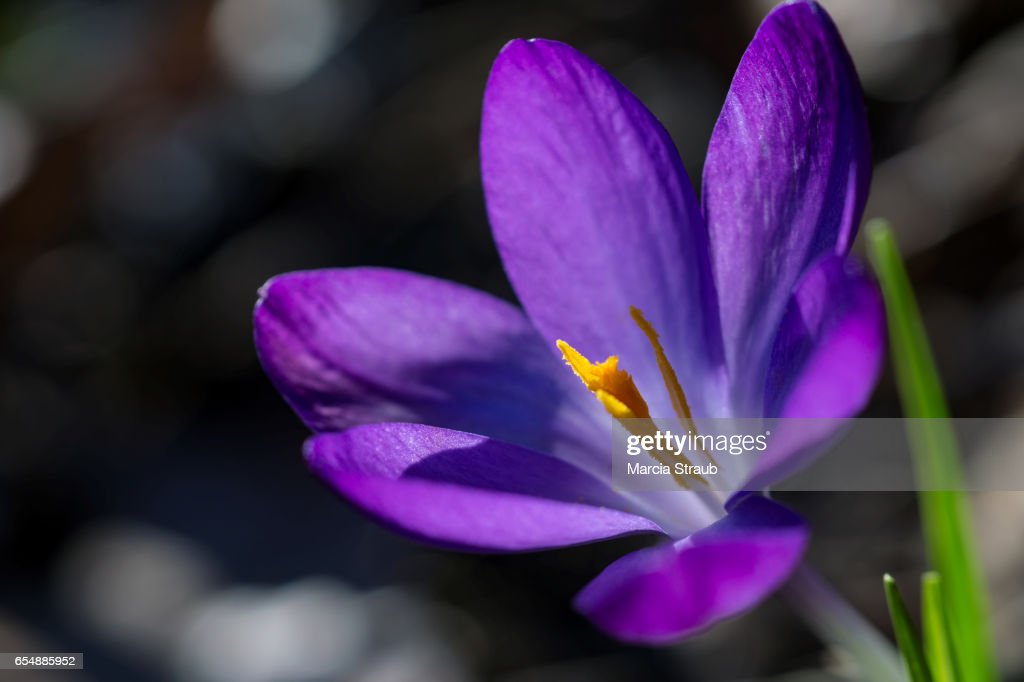 Purple Crocus An Early Spring Flower Stock Photo Getty Images