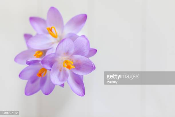 Purple crocus blooming, view from above, white wooden background with copy space