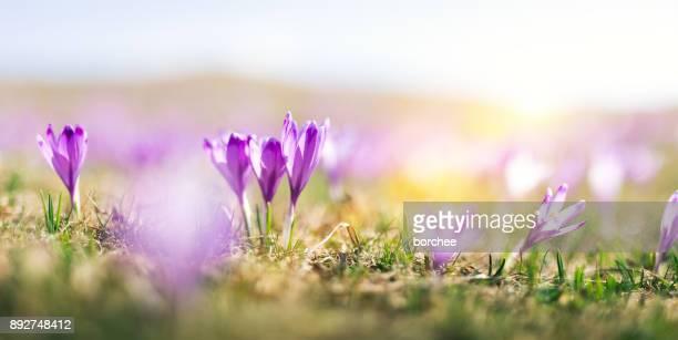 Paarse Crocus bloemen In het voorjaar