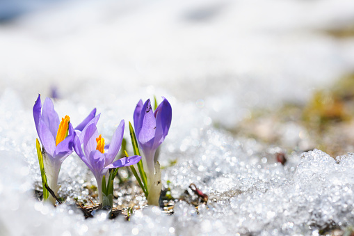 Purple Crocus growing in the early spring through snow 125546212