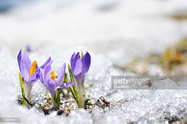purple crocus growing in the early spring through snow - morning stockfoto's en -beelden