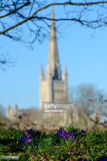 Purple crocuses in bloom on the banks of the River Wensum in the centre of Norwich with the Cathedral in the background on February 26 2019 in...