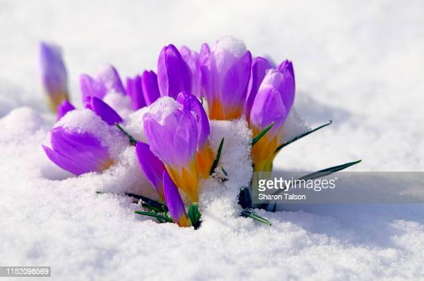 purple crocuses in the snow. - appearance stock pictures, royalty-free photos & images