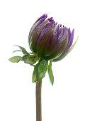 closeup purple dahlia bud with water