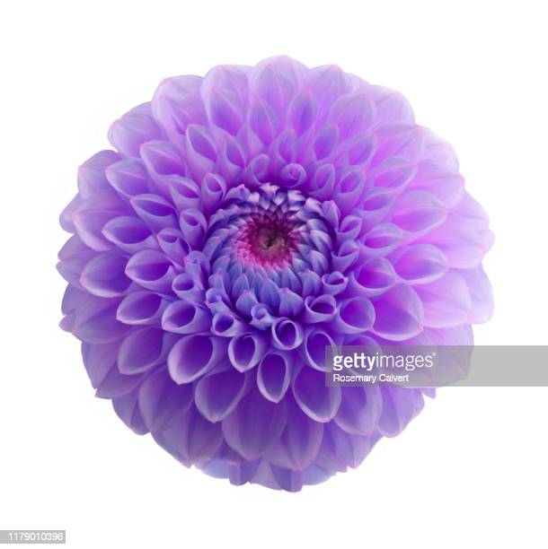 purple dahlia flower digitally colour manipulated on white. - blossom stock pictures, royalty-free photos & images