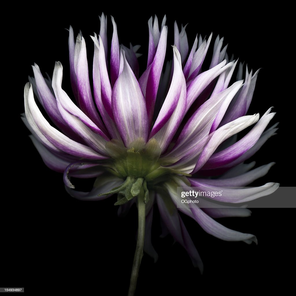 Purple dahlia flower isolated against a black background.