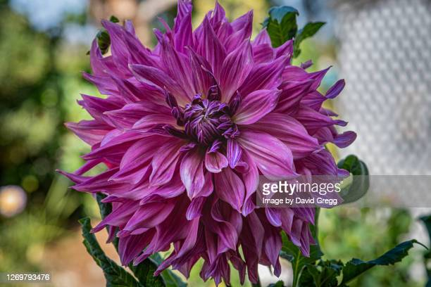 purple dahlia - rancho palos verdes stock pictures, royalty-free photos & images