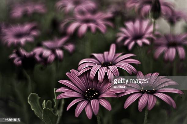 purple daisies - annfrau stock photos and pictures