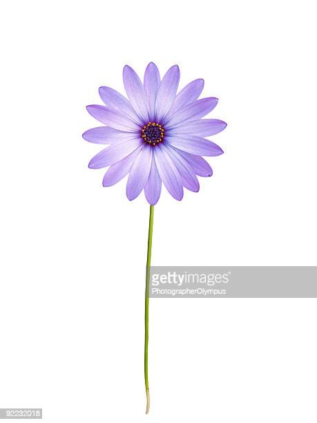 A purple daisy on a white background