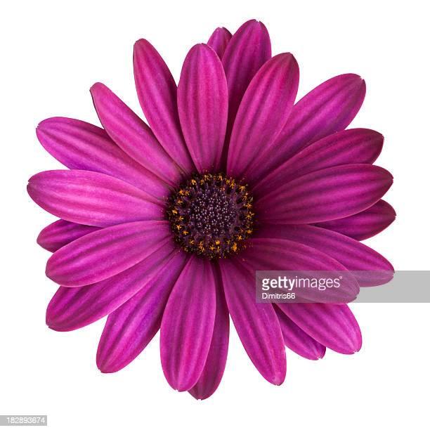 Violet marguerite sur fond blanc