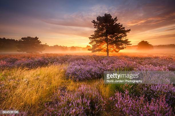 purple dreams - baum stock pictures, royalty-free photos & images