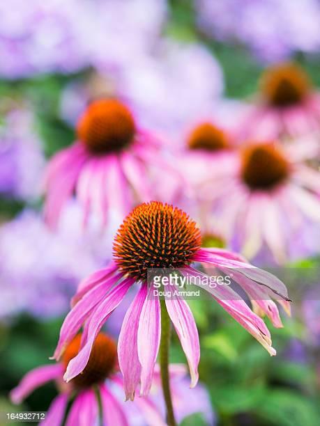 Purple Echinacea or coneflowers